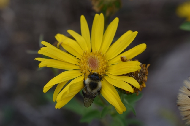 DSC_0046 bumblebee on hairy goldenaster