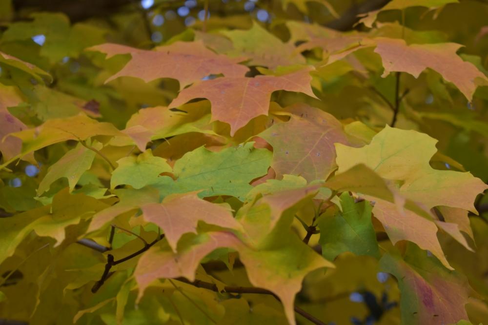 DSC_0118 shades of maple
