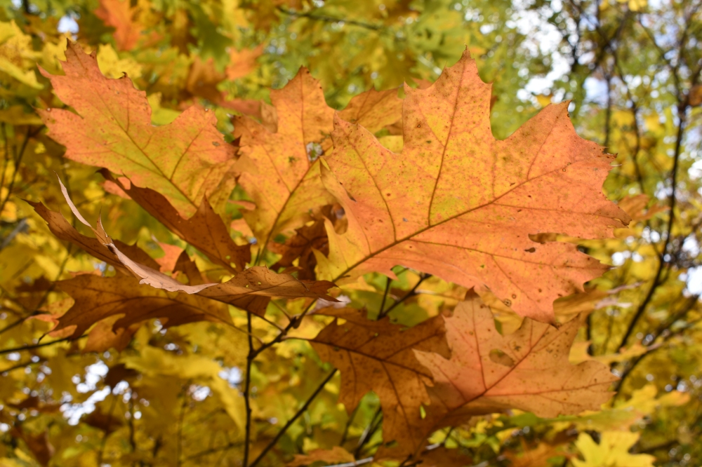DSC_0827 Oak crimson and gold