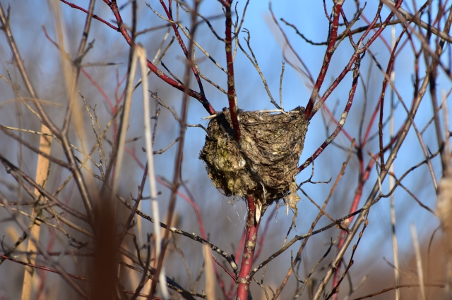 DSC_0266 bird's nest