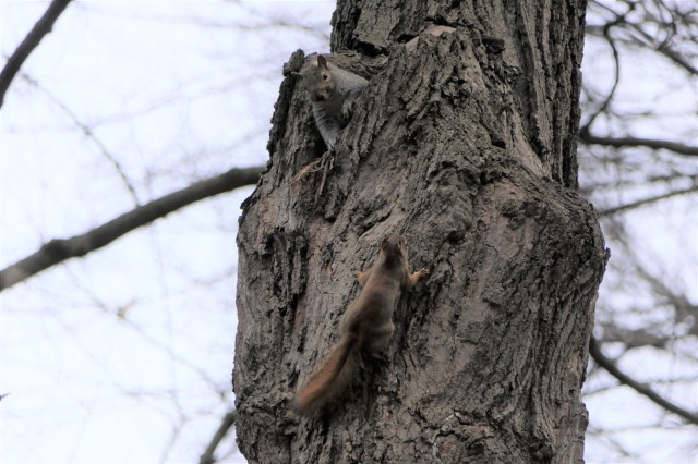 gray squirrel and red squirrel vying for space