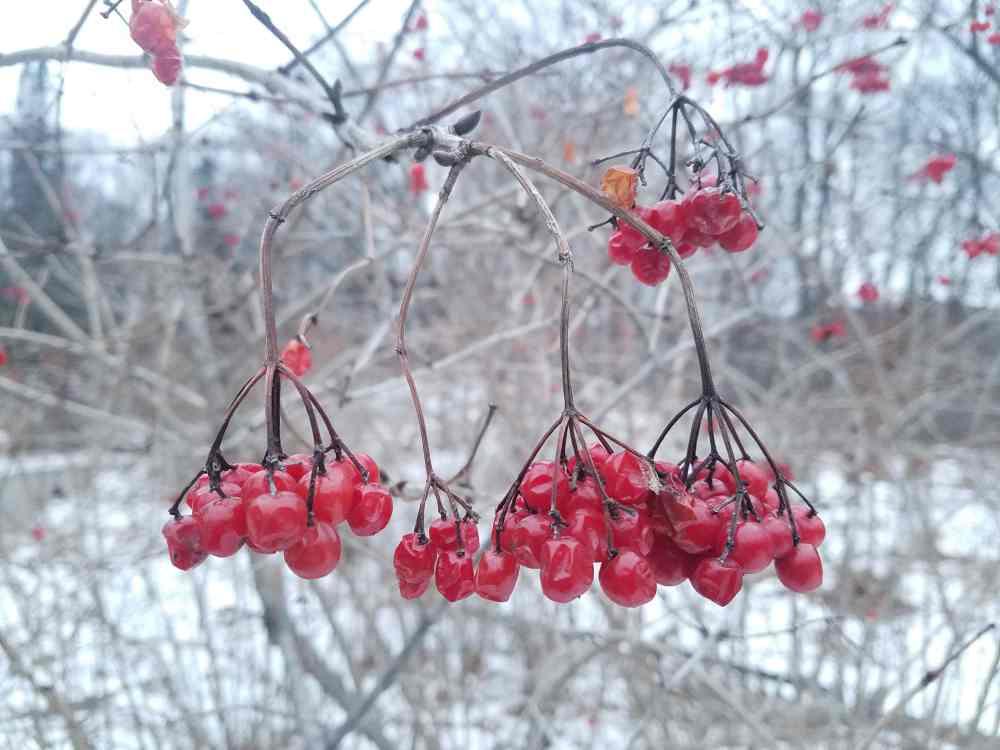 American Cranberrybush Berries
