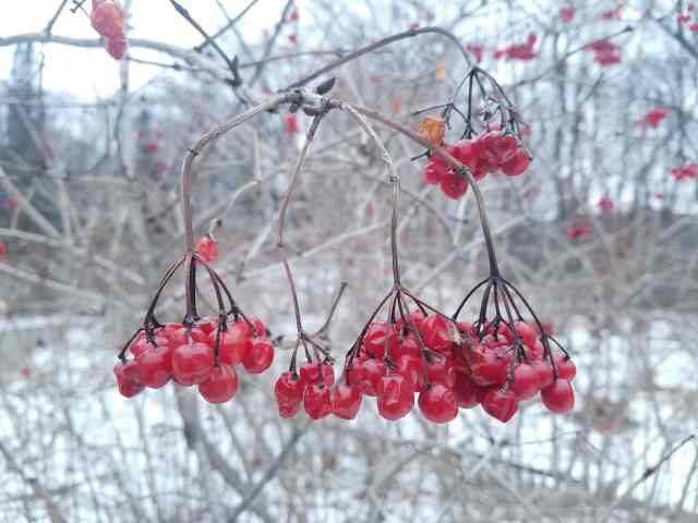 American Cranberrybush Berries
