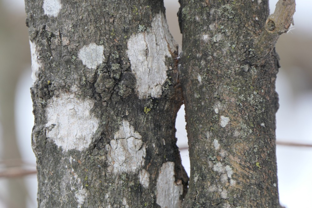 Whitewash lichen