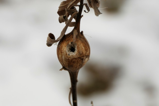 goldenrod ball gall