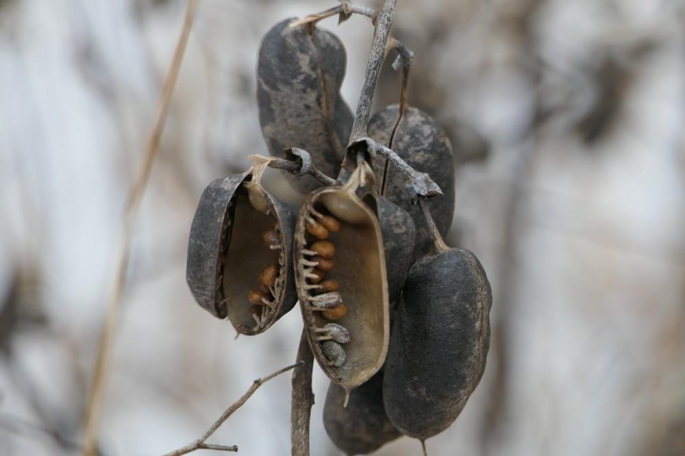 indigo seed pods