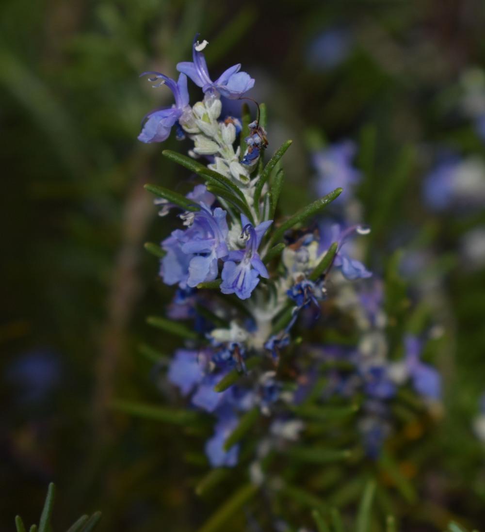 DSC_0541 Rosemary flower