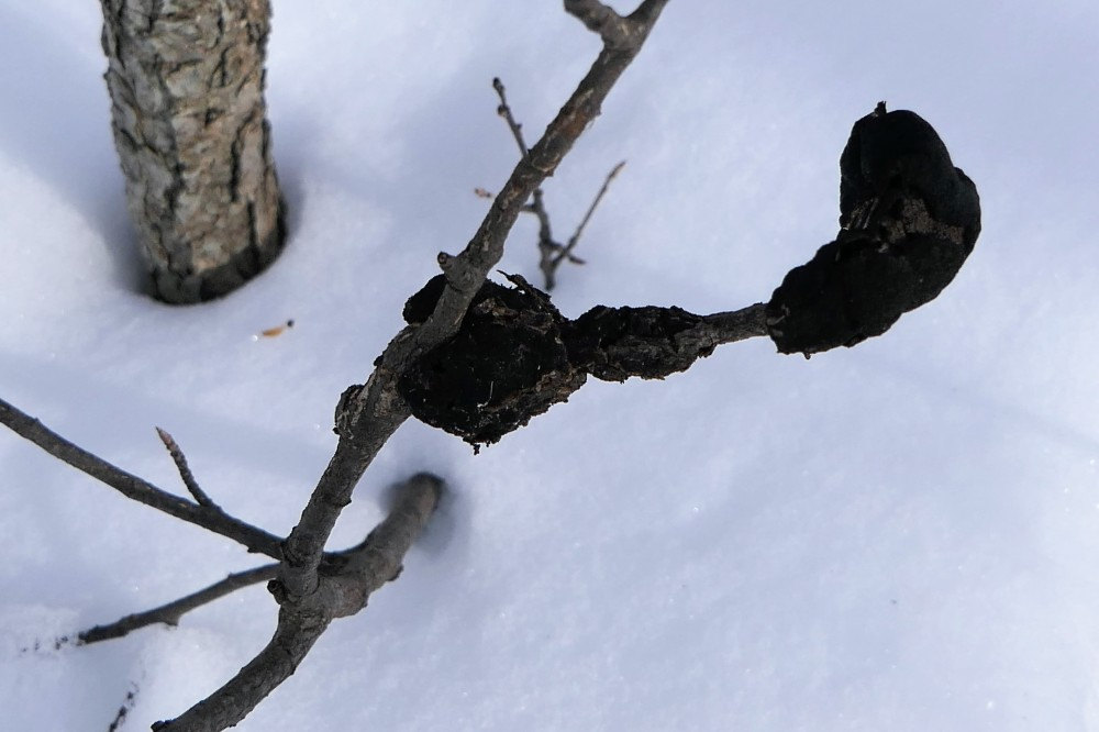Black knot fungus