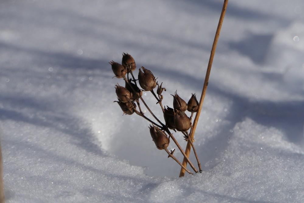 Giant St. Johnswort seed pods