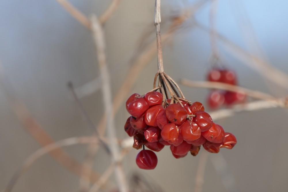Highbush cranberry fruit