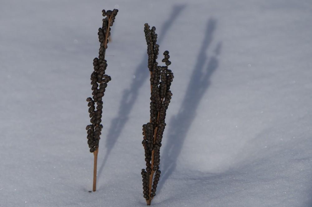 Sensitive fern spore capsules