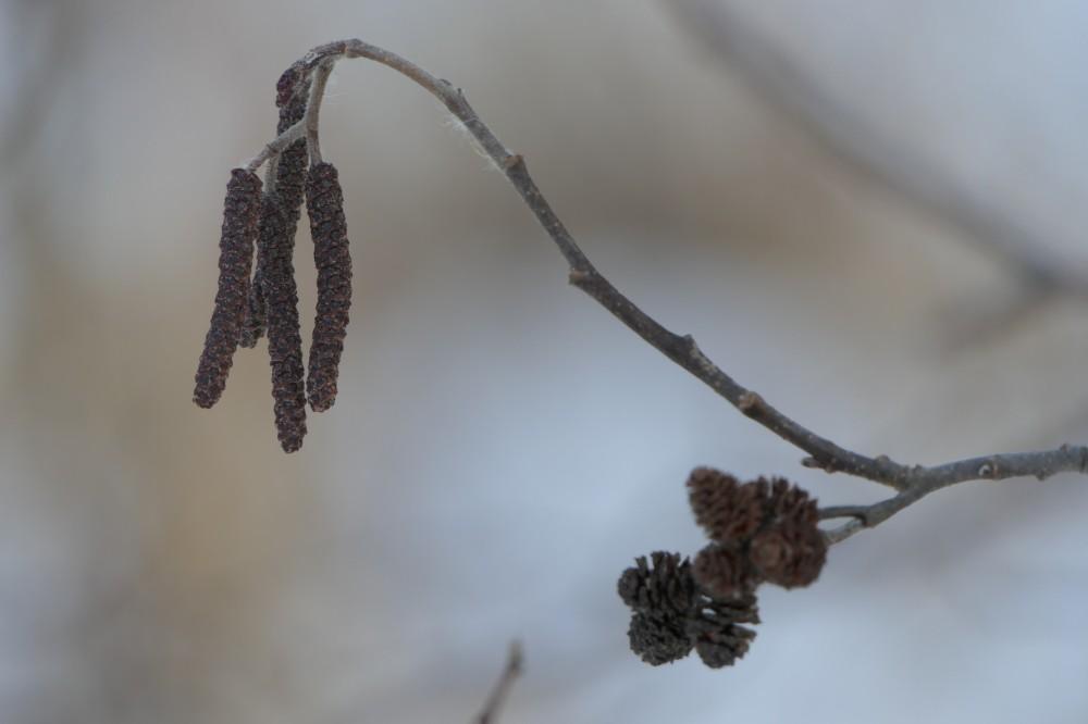Speckled alder catkins
