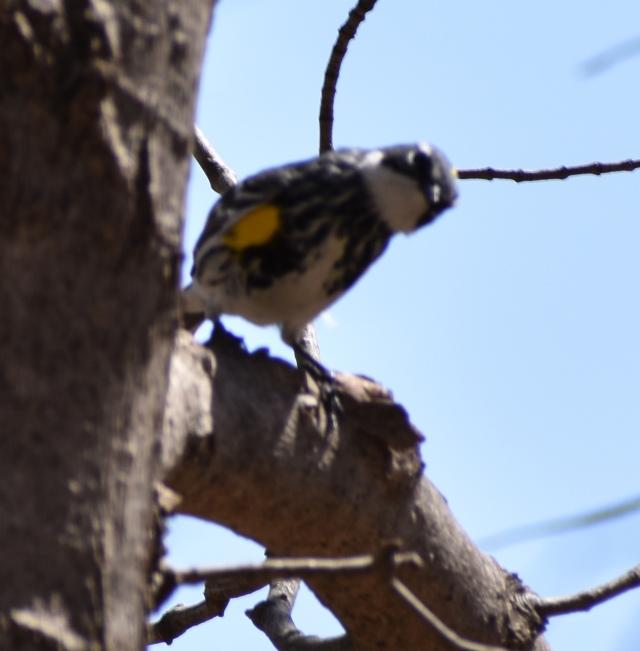 DSC_0175 golden rumped warbler