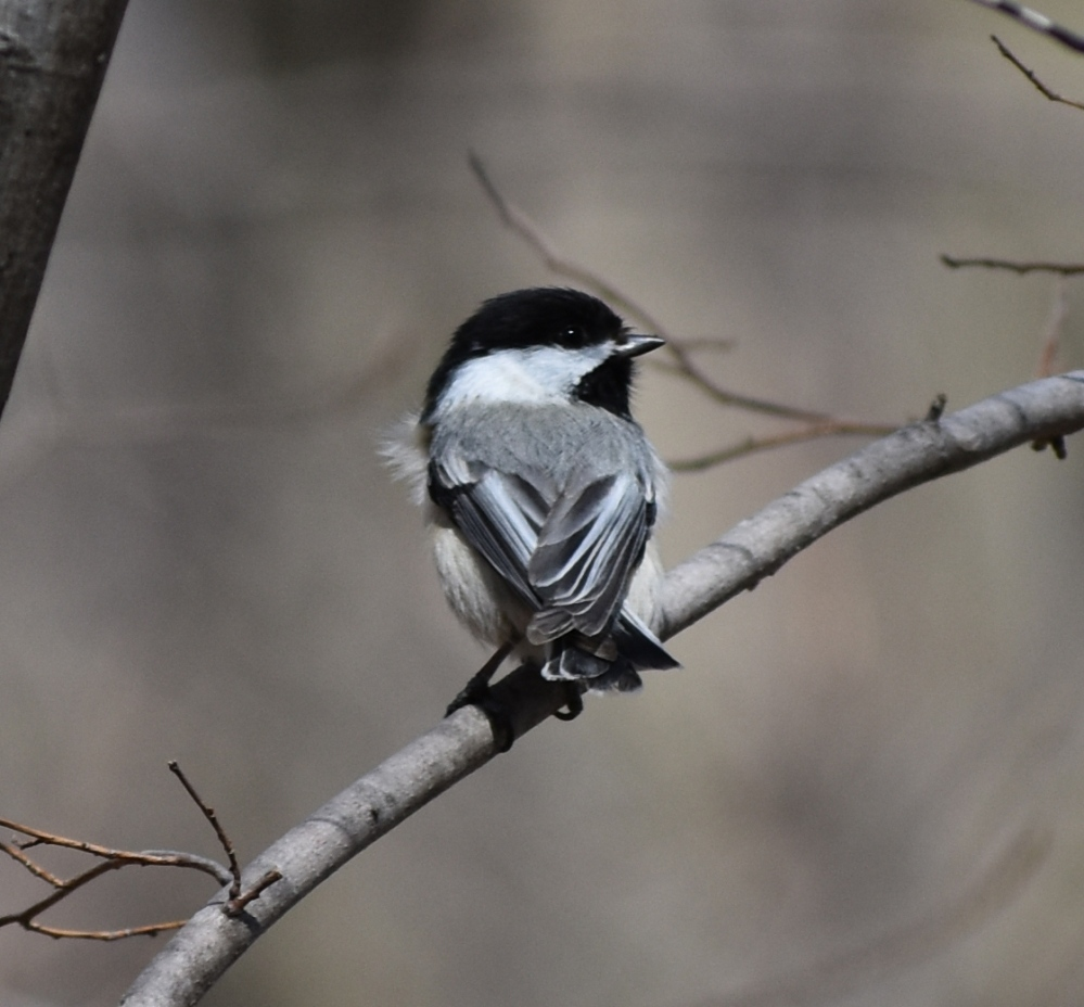DSC_0244 black capped chickadee