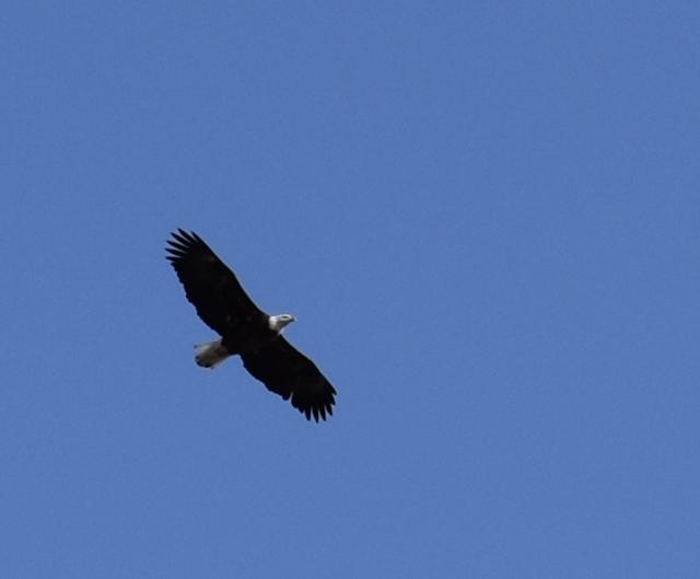 DSC_0790 Bald eagle