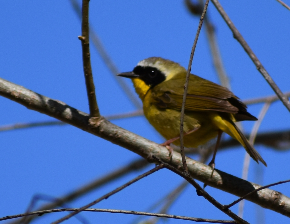 DSC_0014 common yellowthroat cropped