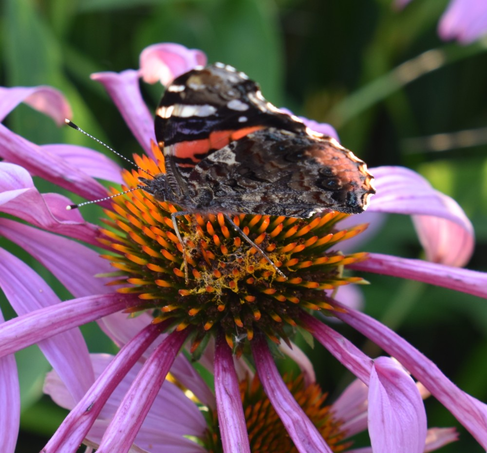 DSC_0760Red admiral butterfly