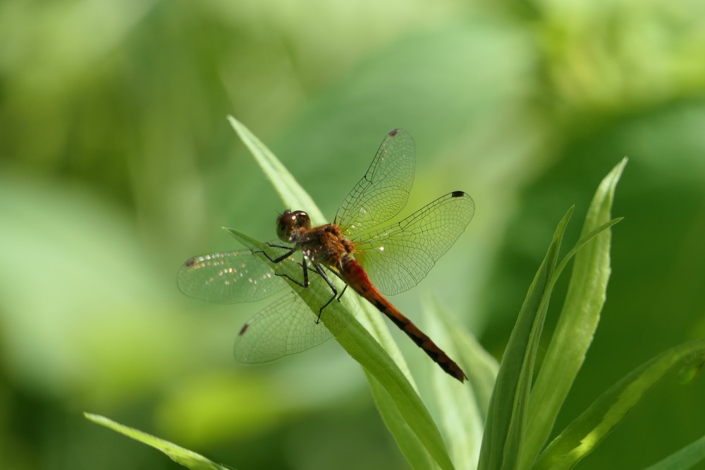 orange meadowhawk