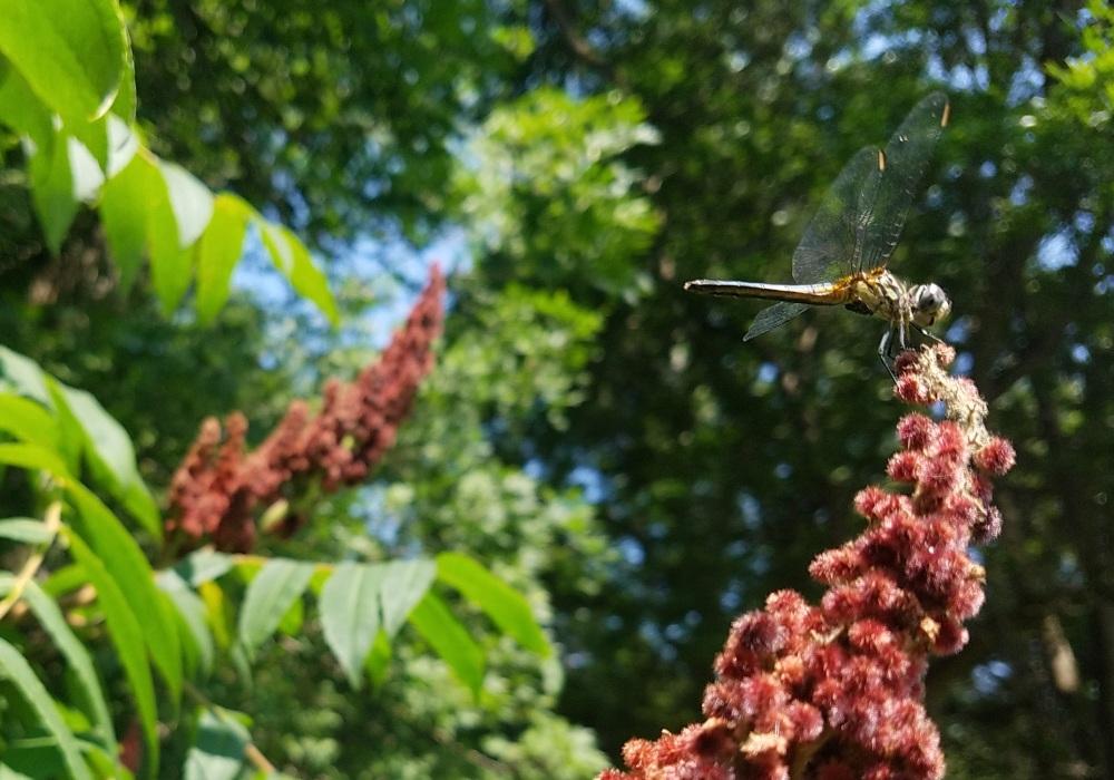Dragonfly on Sumac