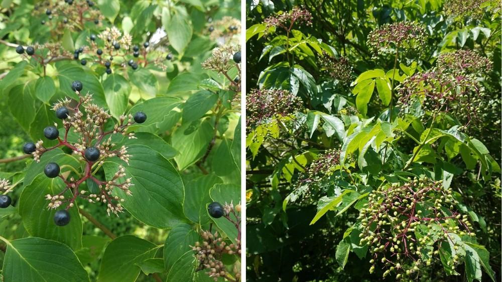Pagoda Dogwood and Black Elderberry