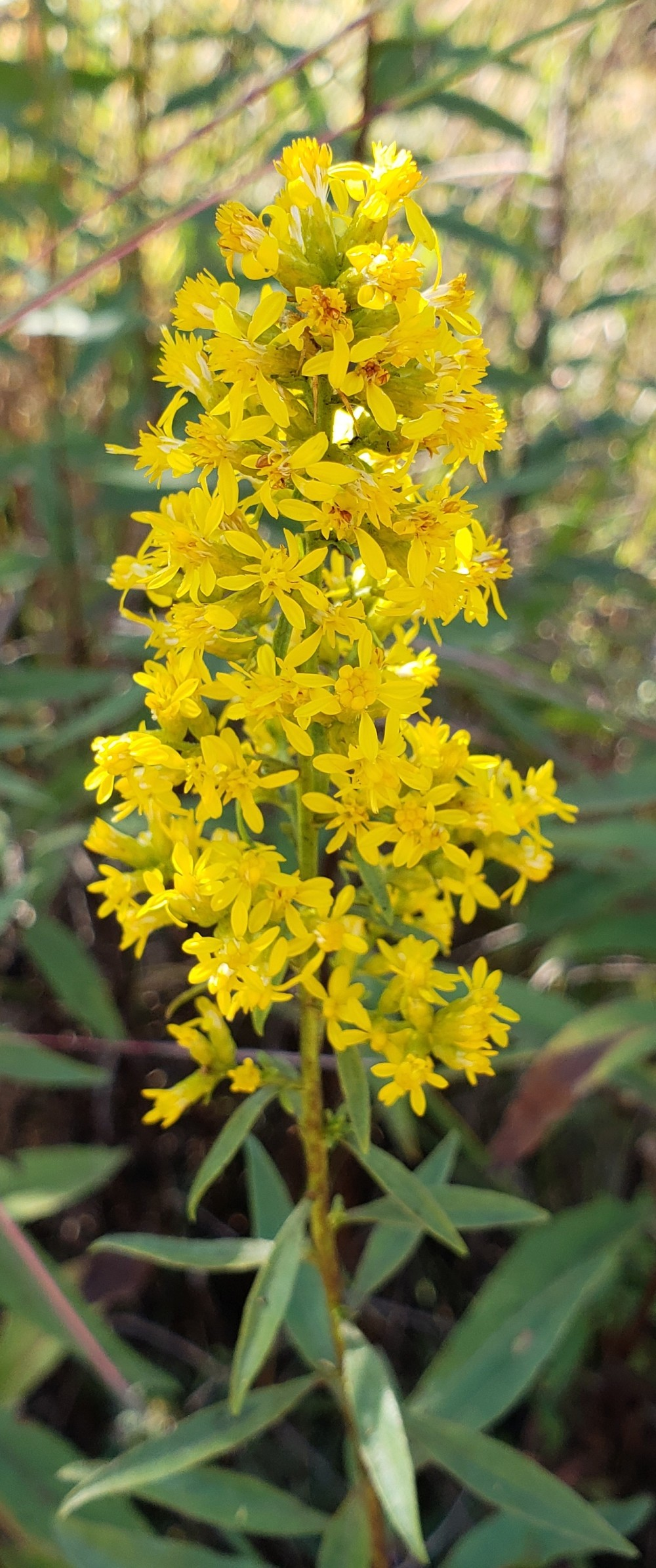 20180916_111013 showy goldenrod cropped