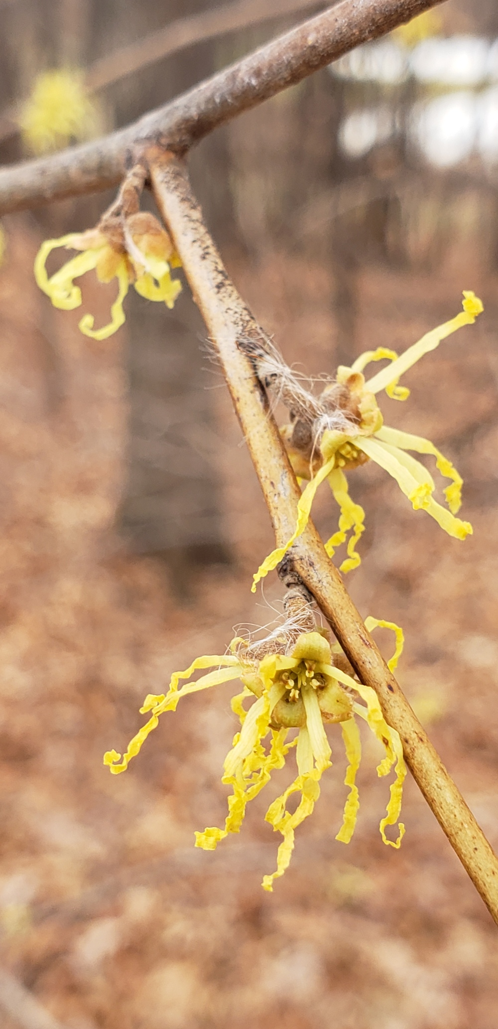 20181123_111620 Witch hazel