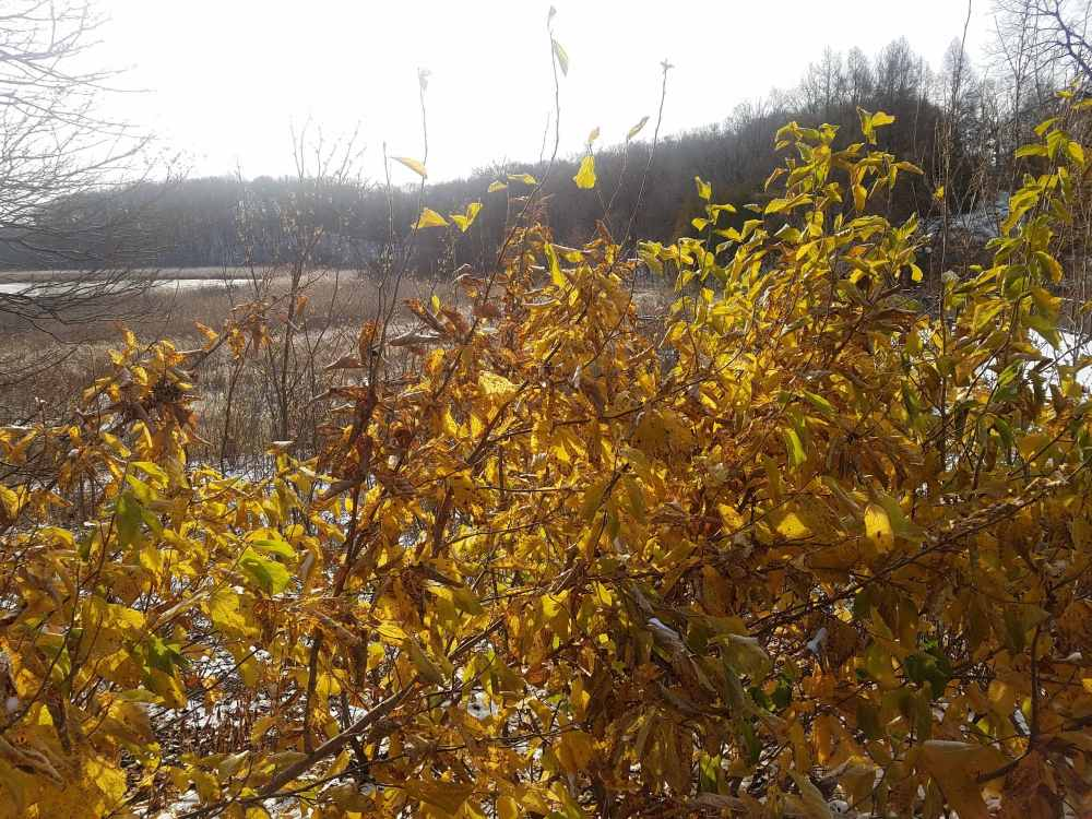 Golden Witch Hazel