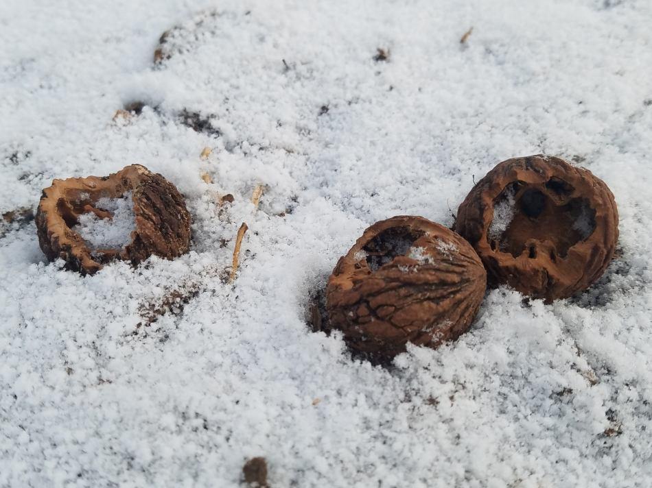 Black Walnut Shells