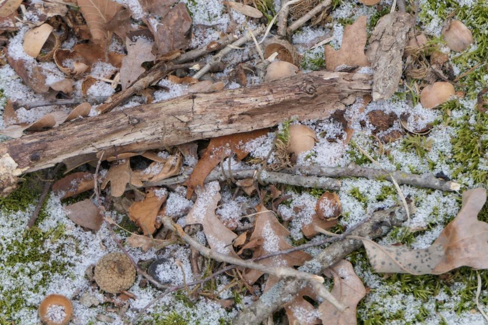 acorn remnants