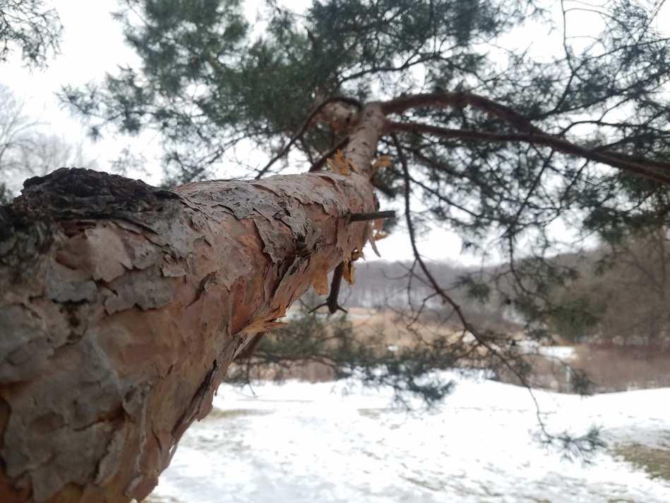 scotch pine bark and foliage