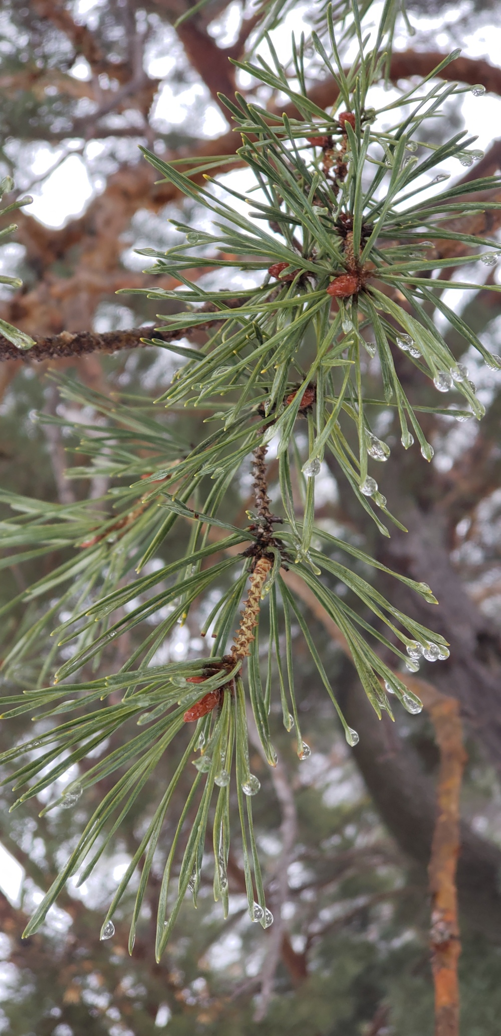 20190203_145301Droplets on pines