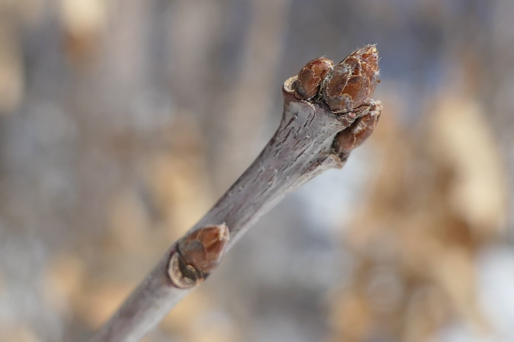 buds waiting for spring