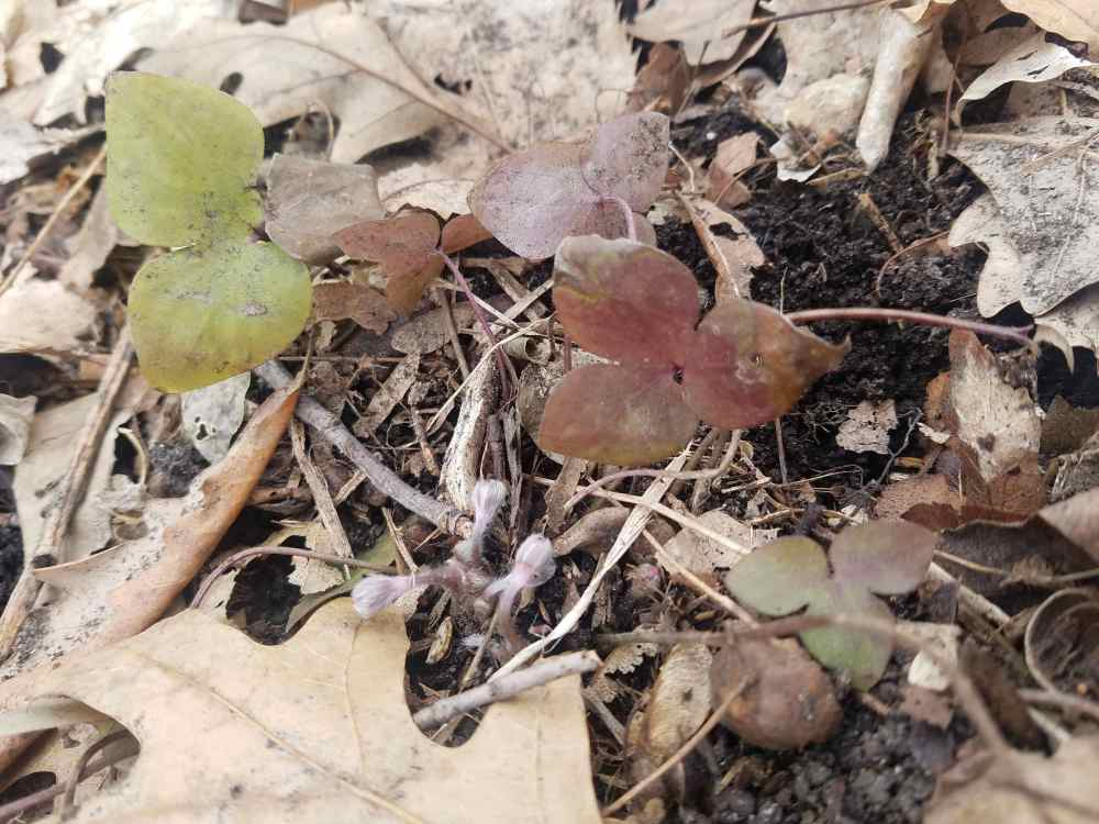 Hepatica Leaves and Flower Buds
