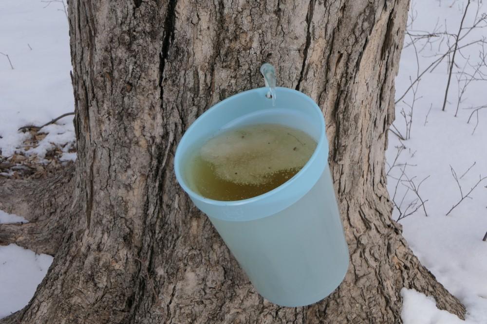 maple sap
