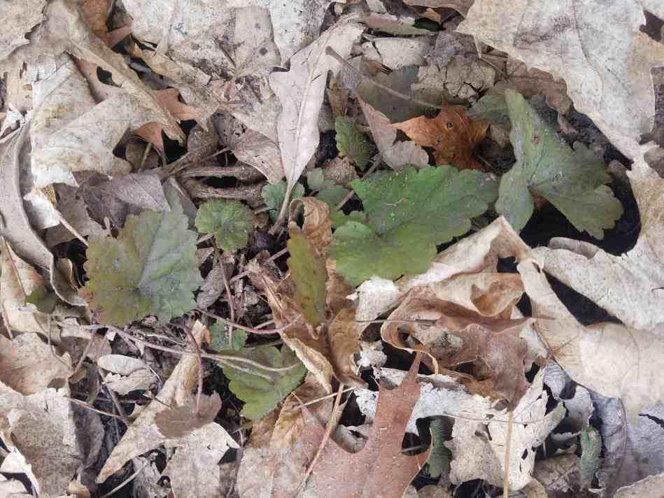 Miterwort Foliage