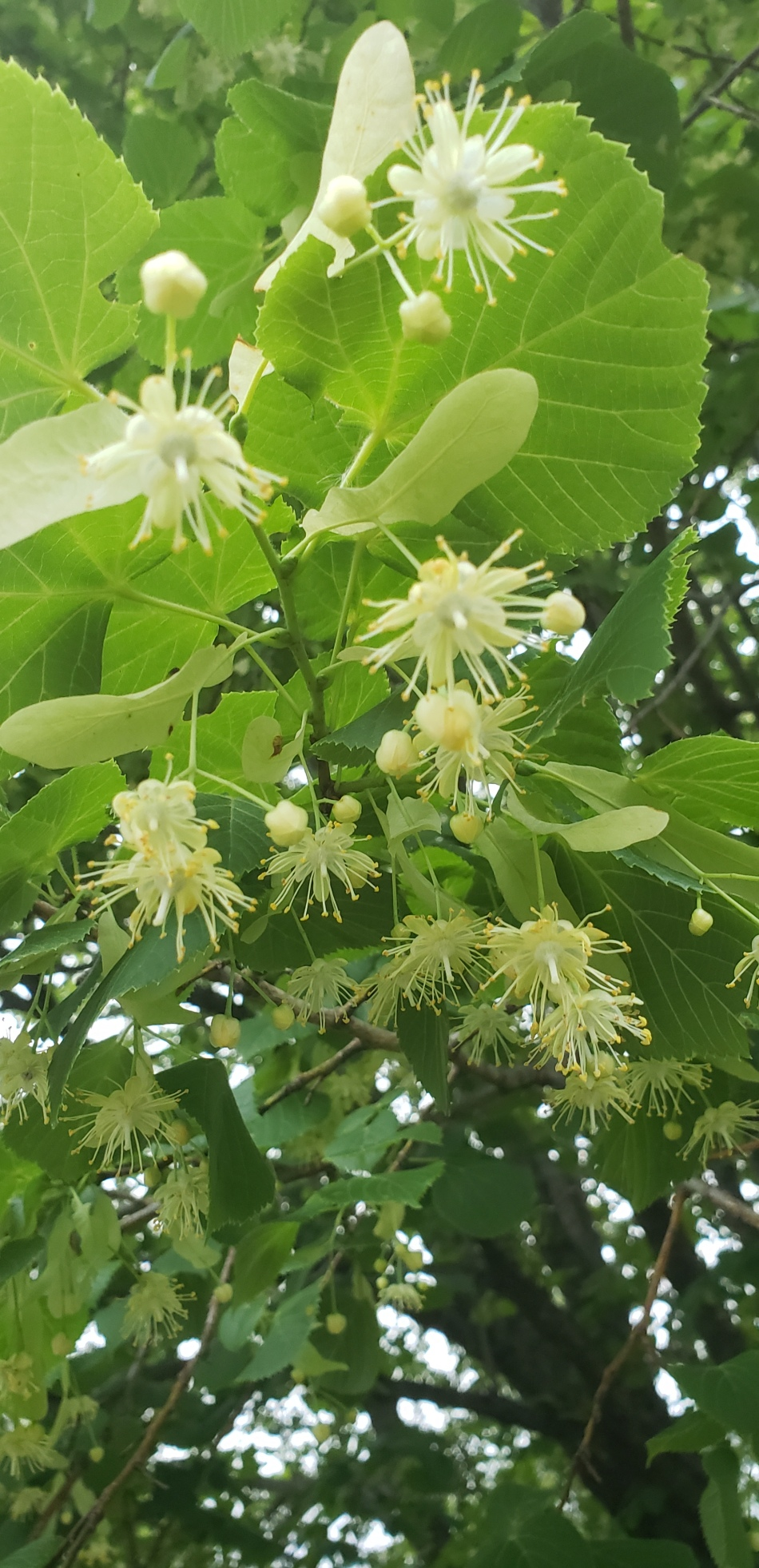 20190622_195830 basswood flowers