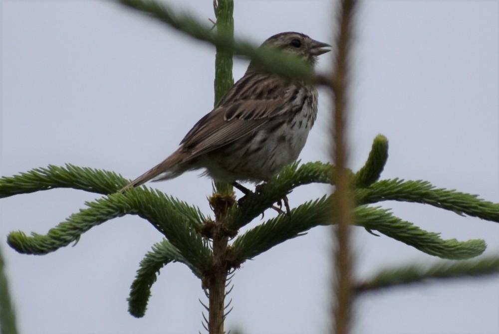 DSC_0525 (2)Song sparrow