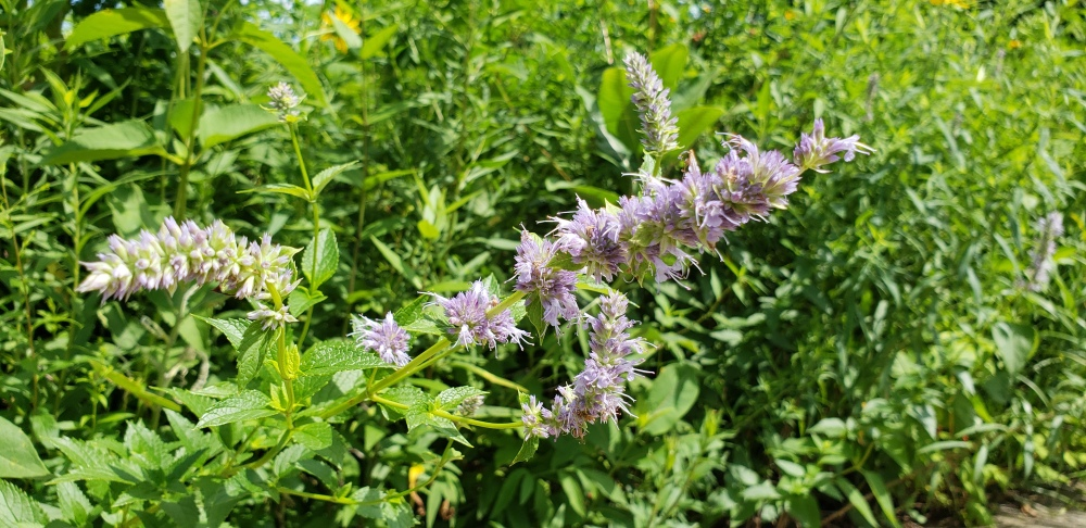 20190721_120300anise hyssop