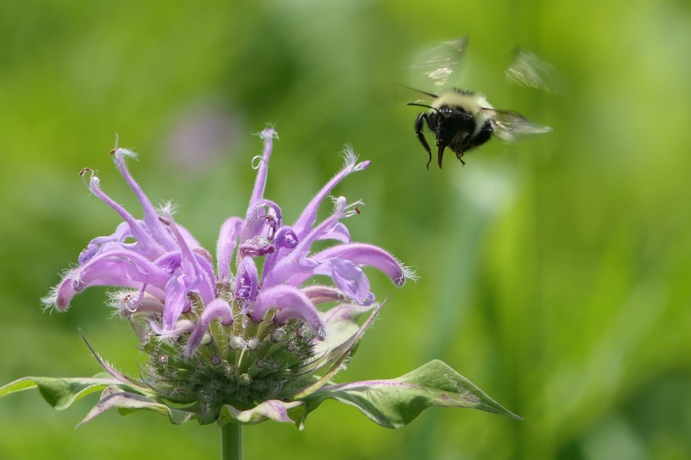 bumble bee with tongue sheath outstretched