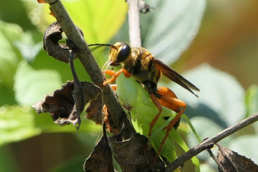 great golden digger wasp 1