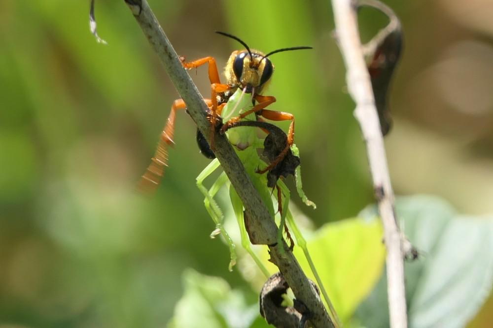 great golden digger wasp 2