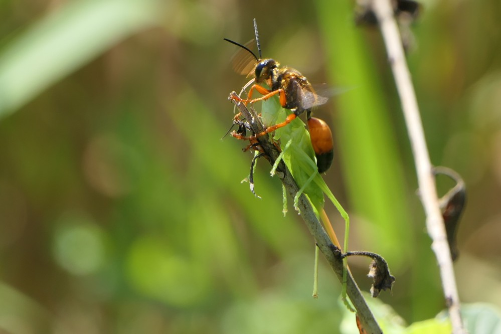 great golden digger wasp 3