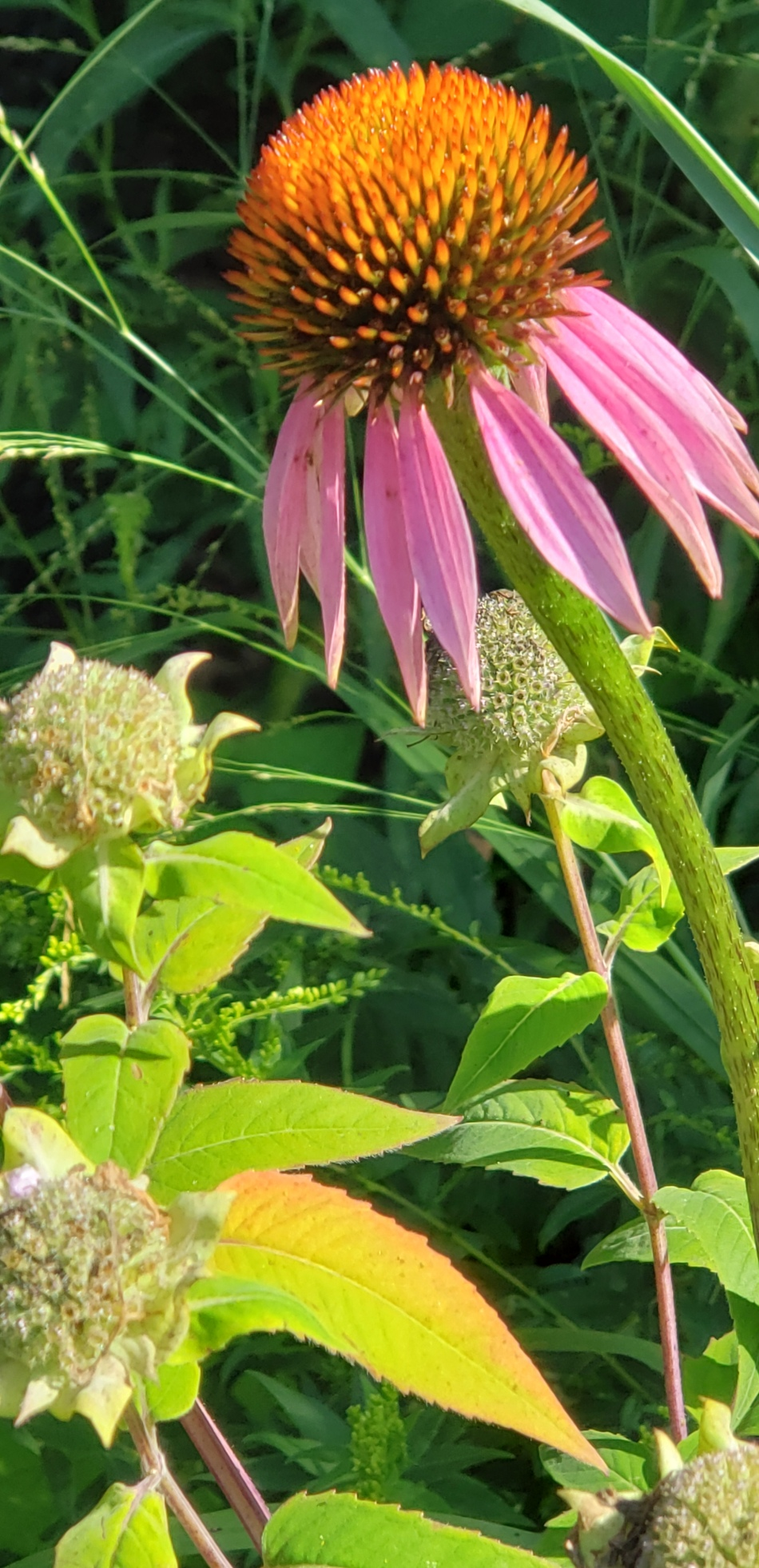 20190817_163225 Coneflower and bee balm