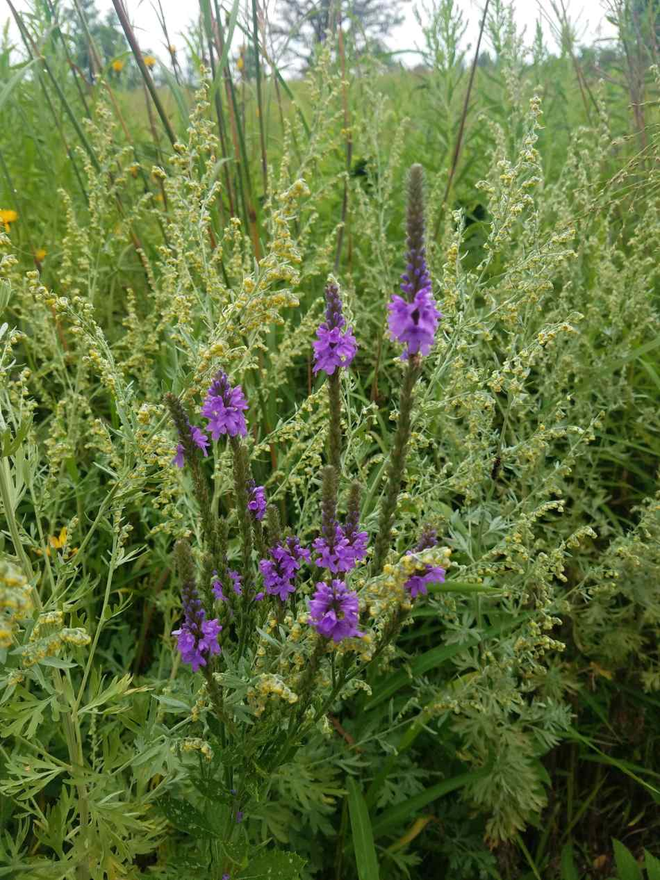 Blue Vervain and Wormwood